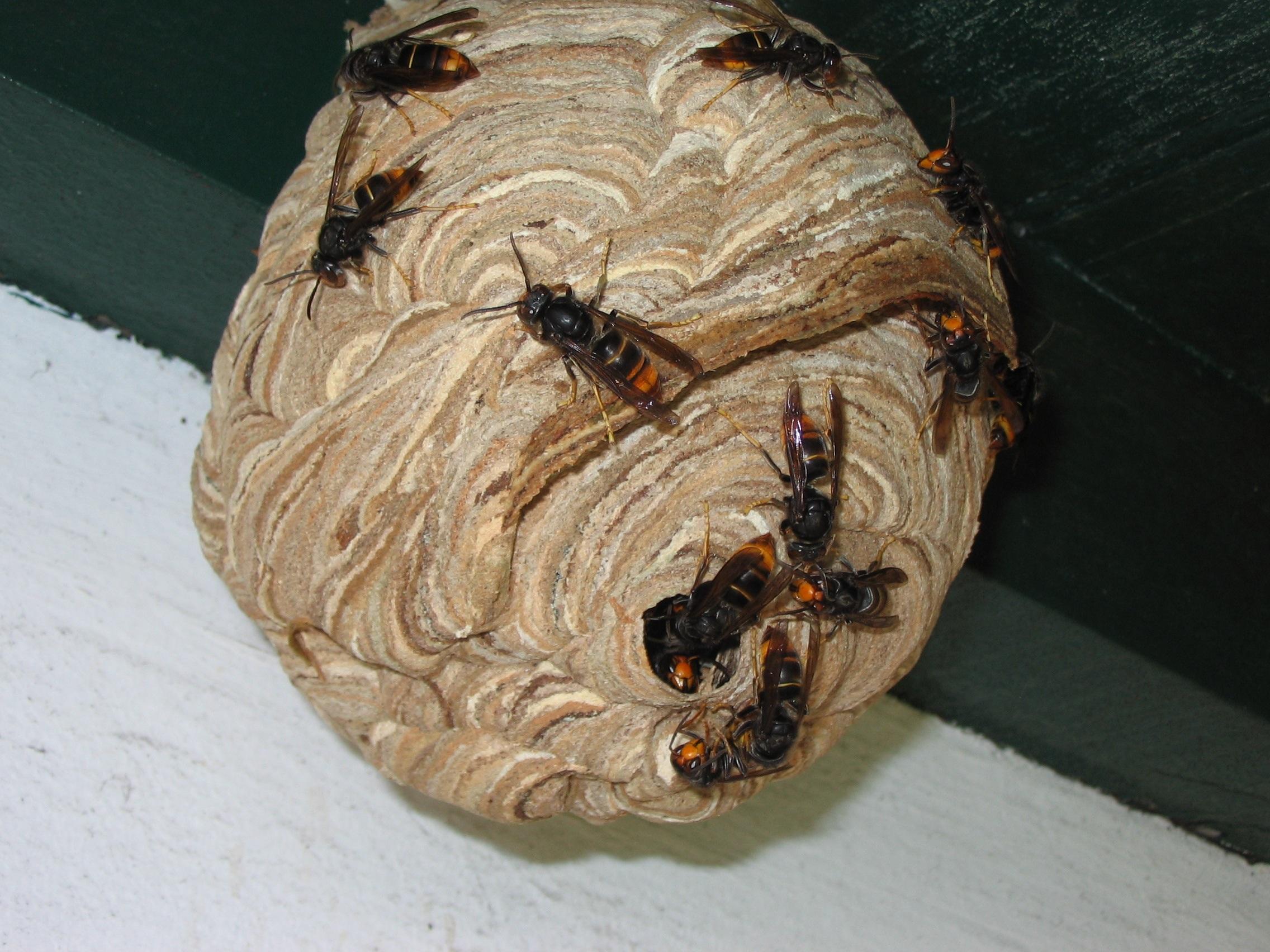 Frelons-asiatiques-que-faire-si-vous-trouvez-un-nid